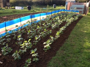 Over wintering broad beans with windbreak
